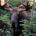 лось в лесу