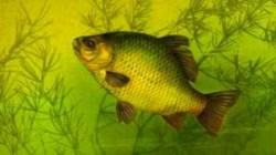 карась рыбалка