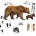 как вышлядит след медведя