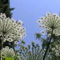 борцевик цветы