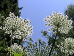 Борщевик Сосновского — опасное растение.