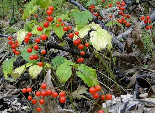 ландыш осенью ягоды