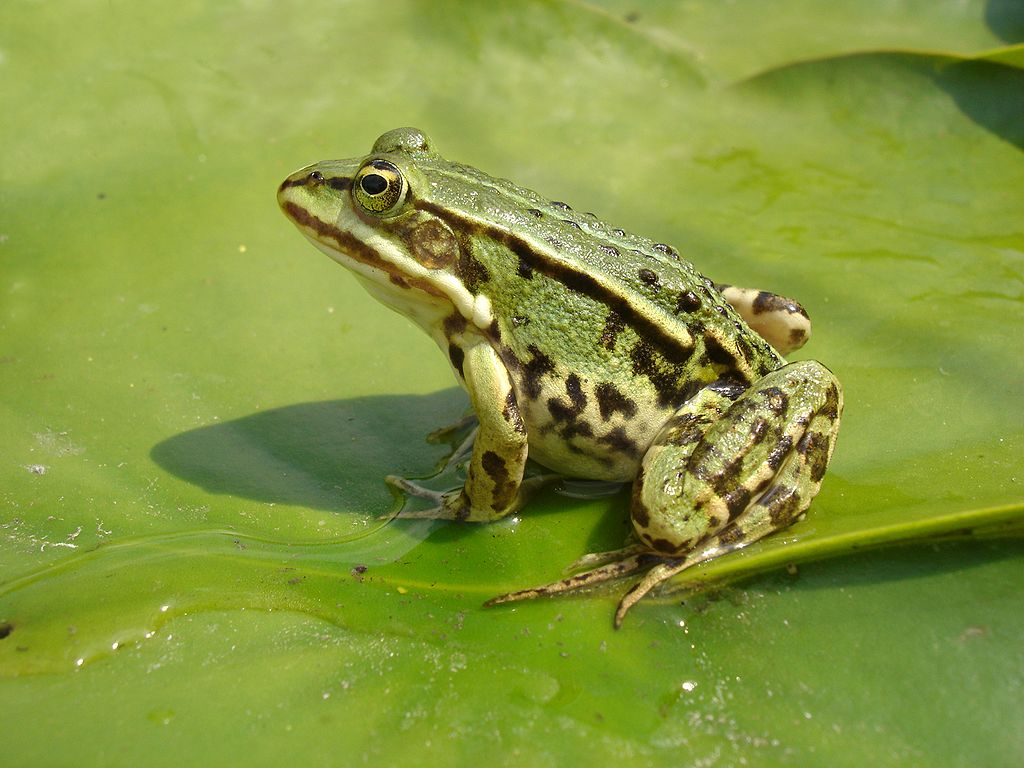 Edible frogs - (Pelophylax kl. esculentus) лягушка