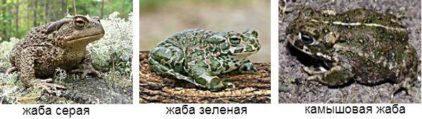 Основные ядовитые жабы России