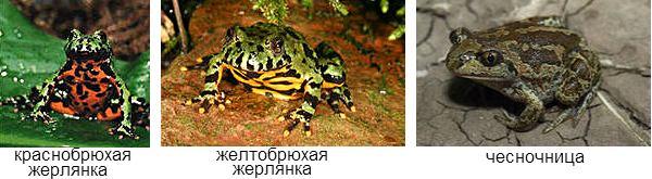 ядовитые лягушки в Росиии