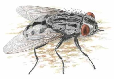 вольфартова муха рисунок