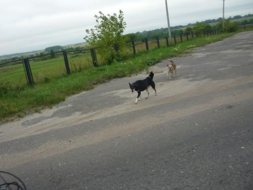 собаки преследуют велосипедистов