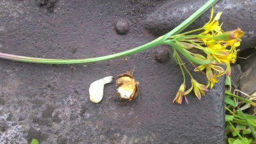 гусиный лук корень