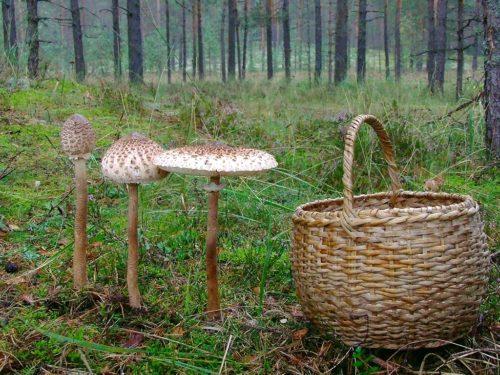 зонтик гриб