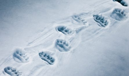 следы медведя