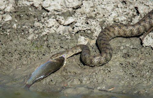 фото водяного ужа