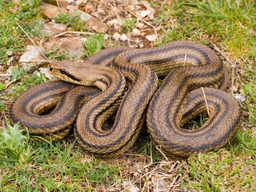 Змеи обитающие в россии