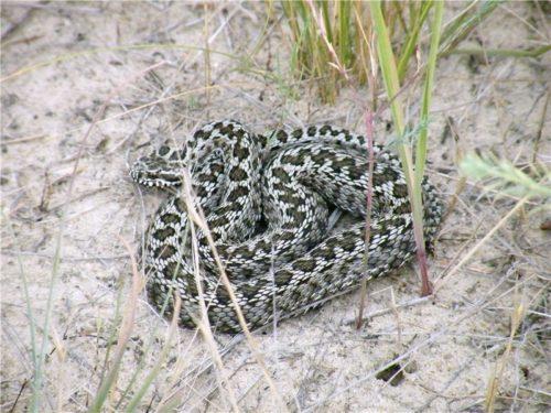 фото змеи степная гадюка