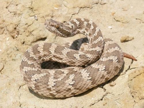 Щитомордник змея
