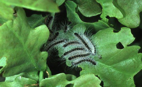 походный дубовый шелкопряд
