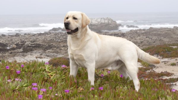 Лабрадор собака для выживания
