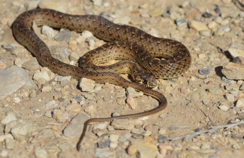 Ящеричная змея(Malpolon monspessulanus)