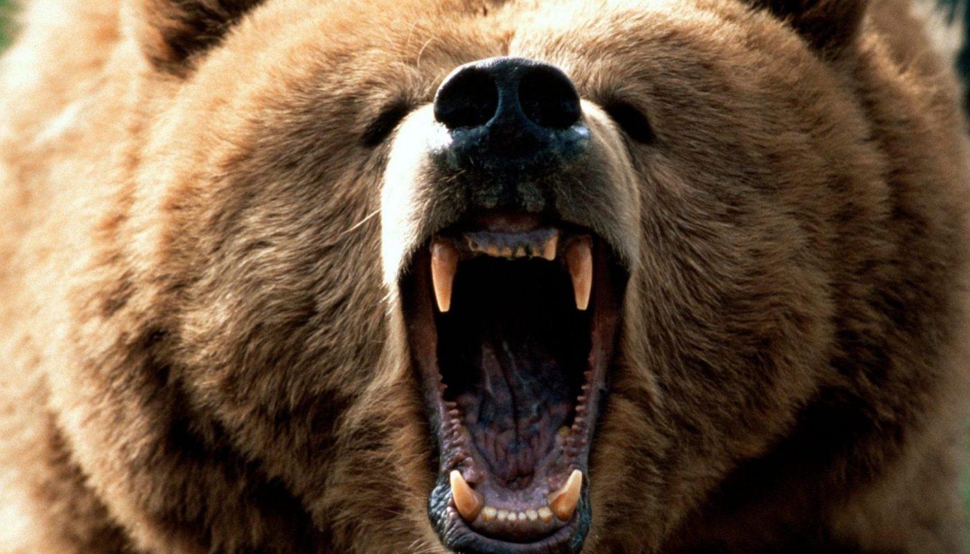 медведь рычит