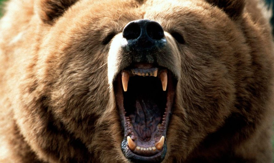 Как выжить при встрече с медведем?