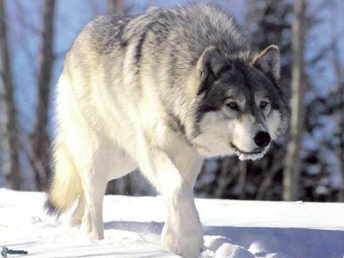 Сибирский Волк