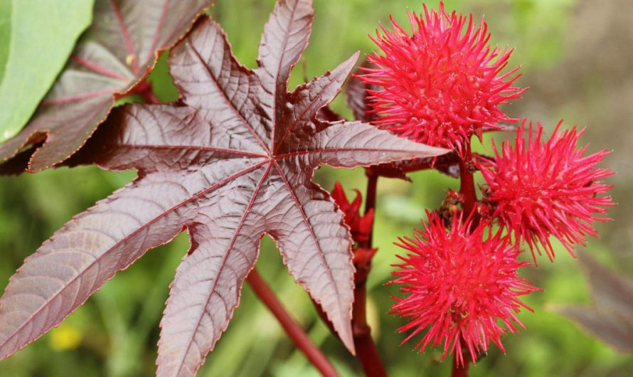 Клещевина Обыкновенная — самое ядовитое из всех семенных растений.