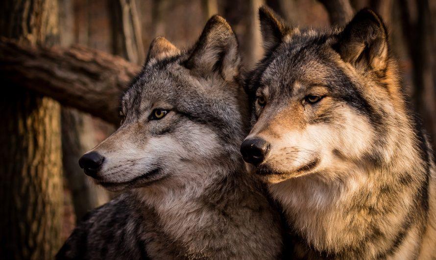 Как выжить при встрече с волками?