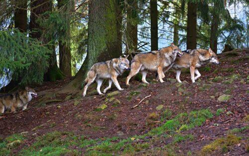 волки фото