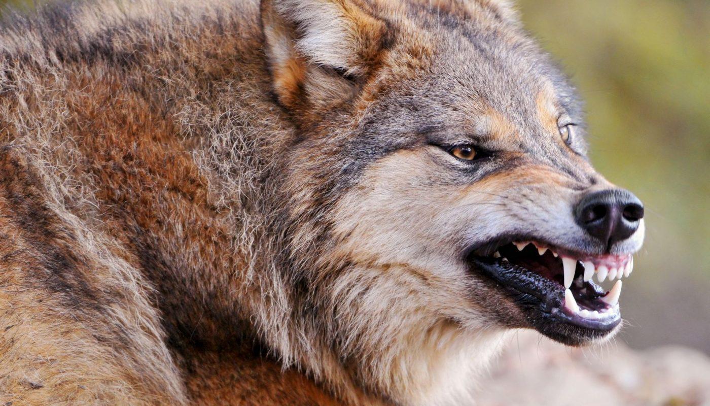 оскал волка фото