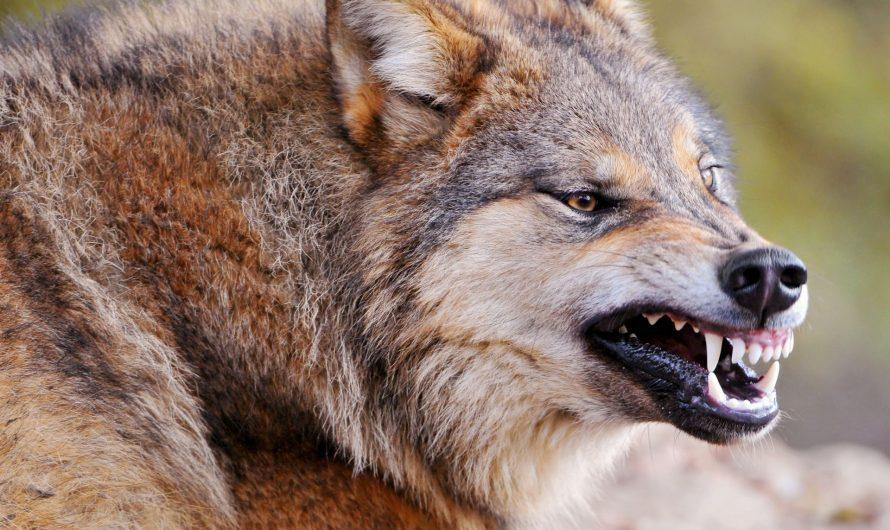 Какие виды волков обитают в России?